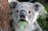 A 10 legjobb koalás gif